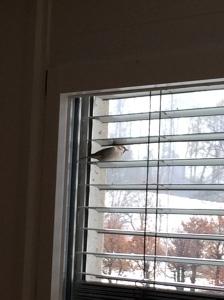 Pardal descansant a la persiana de la sala d'estar de casa nostra